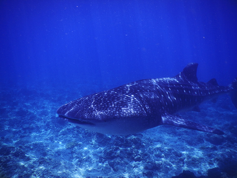 diving with the whale sharks of the maldives