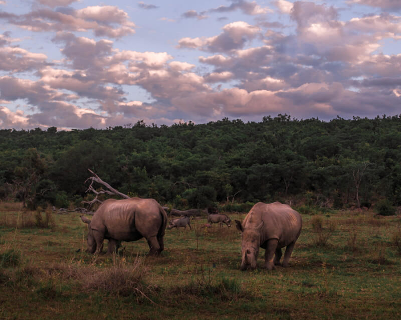 the beauty of the best safari in south africa with healthy beautiful wildlife